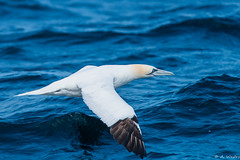 Northern Gannet (a3aanw) Tags: france bird birds animals nikon bretagne frankrijk d800 nikonafsnikkor300mmf4difed zomervakantie2013