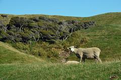[00007898] (manfredlang286) Tags: new beach rock strand seaside waterfront sheep bank zealand neuseeland felsen wharariki shafe