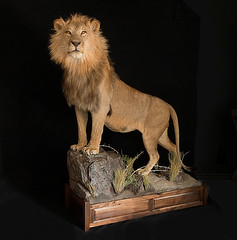 "African Lion Taxidermy • <a style=""font-size:0.8em;"" href=""http://www.flickr.com/photos/27376150@N03/9418031726/"" target=""_blank"">View on Flickr</a>"