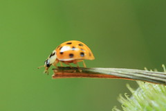Lac des Minimes 13-07-2013 IMG_2153 (MUMU.09) Tags: france insectos nature animal insect photo foto 100mm ladybug bild insekt ong  insetto insecte joaninha imagem vincennes  coccinelle   mariquita  coccinella         uur marienkf  bcei   lacdesminimes cai       canoneos550d