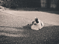 Sun bathing (Impossible Astronaut (52 week project)) Tags: light shadow blackandwhite bw cat garden dof straycat project365 olympus60mmf28