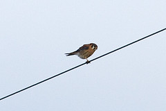 032034-IMG_6482 American Kestrel (Falco sparverius) (ajmatthehiddenhouse) Tags: usa bird colorado americankestrel falco falcosparverius sparverius 2013