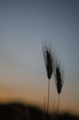 Neanche un soffio... (gianluca_98) Tags: 50mm tramonto pentax bokeh f14 50mmf14 grano k7 spighe 50mmpentax pentaxk7