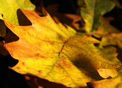 Yellow veins (Forat Alawsii) Tags: autumn red green fall le