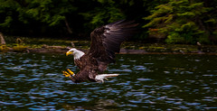 Going for the Catch (Thomas Nelsen Photography) Tags: fish bird flying fishing eagle feeding hunting bald raptor prey predator avian northernwisconsin fish d3200 boulderjunction eagle flying catching