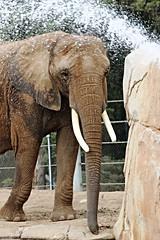 Elephants -   #CrushTheTrade #IvoryCrush (Pix.by.PegiSue -Thxs! 3M+ views! see my albums) Tags: california africa wild elephant nature animal animals canon zoo asia flickr sandiego wildlife safari wap elephants wildanimalpark sandiegozoo animalplanet zoos nationalgeographic cuteanimals sdz natgeowild sandiegozoosafaripark sdzsafaripark sdzsp pixbypegisue zooglobal wwwflickrcomphotospixbypegisue
