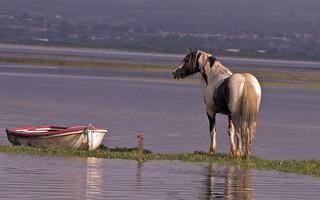 Marsh stallion at high tide         Explored