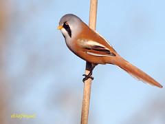 Macho de Bigotudo (Panurus biarmicus) (eb3alfmiguel) Tags: aves bigotudo insectívoros pájaros