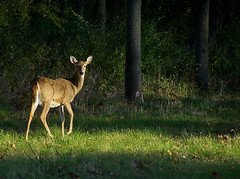 Deer (Trevor Finnell) Tags: park lighting white nature photoshop point photography woodlands shoot photographer natural state zoom kodak 5 five dough wildlife central deer adobe tailed lightroom amatuer kickapoo z740 illininois