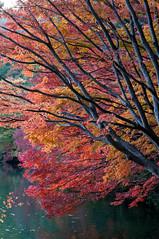 (tarotaro-san) Tags: lake color nature leaves japan foliage       yamanashi