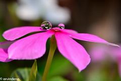 Pearls of Wisdom (ArvinderSP) Tags: flower macro nature closeup reflections image bud waterdrops 482 pearlsofwisdom natureupclose arvinder vincarosea nikon28105f3545d nikond7000 arvindersp