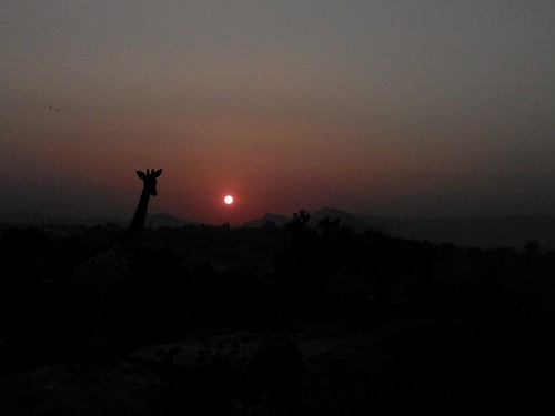 Giraffe watching sunset.....