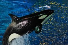 One Ocean (Seals4Reals) Tags: ocean show one orlando florida killer whale orca seaworld shamu orcinus