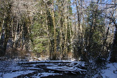 Westport, OR ~ property with stream (Sireneflux) Tags: trees snow nature outdoors landscapes wintertime iloveoregon sireneflux melissairenetremblay fluxdecor fluxdecorphoto thesnowywoods