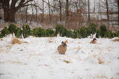 "Ducks with Winter Kale <a style=""margin-left:10px; font-size:0.8em;"" href=""http://www.flickr.com/photos/91915217@N00/11283246034/"" target=""_blank"">@flickr</a>"