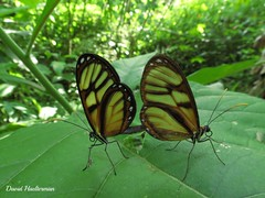 Mariposas reproduciendose, Genova, Quindio, Colombia (David Haelterman) Tags: southamerica america américa colombia tropical tropicos amérique colombie amériquedusud sudámerica américadelsur tropiques trópics