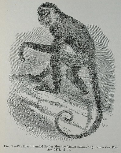 Black-Handed Spider Monkey - Encyclopaedia Britannica 1878