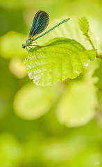 Calopteryx en pleine lumire (3). (gille33) Tags: macro nature insect dragonfly insecte libellule libellula calopteryx odonata odonate sonydslra900 mygearandme mygearandmepremium gillesremus flickrstruereflection1