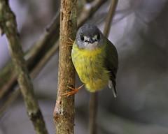 Pale Yellow Robin (Mark_Coates) Tags: capito tregellasiacapito tregellasia donotuseinblogwithoutexpresspermission