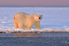 Polar Bear in the Light! (MyKeyC) Tags: alaska arctic polarbear kaktovik ostrellina aaacolgetty
