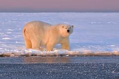 Polar Bear in the Light! (MyKeyC) Tags: alaska arctic polarbear kaktovik ostrellina aaacolgetty