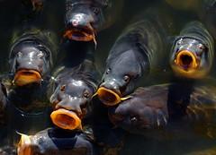 Mouths to feed (eric_bartman) Tags: fish carps carp vis uit nuenen karper dagjedagje