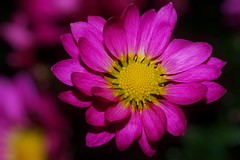 Chrysanthemum (Paul Sibley) Tags: flower photoaday nikond60 11365 3652014