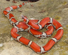 Milk Snake, Red - Jackson, MO 4-21-13 (2) cropcol (Matt Jeppson) Tags: