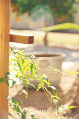 3/52 (Tia Benningfield) Tags: old summer orange tree rose yard bucket spring bush bokeh p52