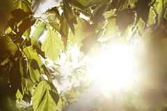 brown leaves light (tanyamarieee10) Tags: light brown sun green nature sunshine glare natural bright pastel tan naturallight sunny foliage lensflare bland flare sunburst burst sunkissed sunflare lightburst supersun