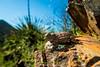 Rock Horned Lizard (Phrynosoma ditmarsi) (NatureStills) Tags: wild slr nature animal fauna sonora mexico scary highresolution nikon natural outdoor reptile wildlife border stock nopeople creepy professional mexican international latin northamerica fullframe nikkor dslr sonoran biology crawling mx rare identify biological herp d800 herpetology hornytoad hardtofind organism coldblooded newworld northernmexico wildlifephotography ectotherm naturestills d800e scotttrageser httpwwwnaturestillscom ditmarshornedlizard phrynosomaditmarsi rockhornedlizard