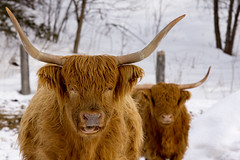 "I said: ""Say 'Cheese', not 'Show me what you are chewing'""!!! (Chizuka2010) Tags: animal rural horns longhorns highlandcattle farmanimals vaches saycheese hff animalphotography animauxdeferme ruralscene ruralit photographieanimalire ruralqubec fencefriday happyfencefriday"