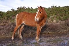 chestnut (romorga) Tags: uk winter wild horse colour female standing landscape nationalpark mare wildlife january hampshire pony photograph chestnut newforest equine feral 2014 equss romorga