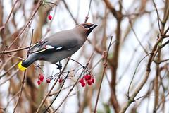 DSC_3339 Pestvogel