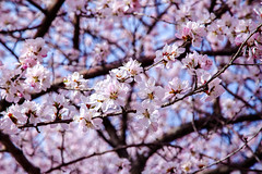 (Carl_W) Tags: travel pink flower tree canon eos beijing 550d canoneos550d eos550d 550dcanon