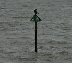 February 18th (Paul Michelmore) Tags: westsussex perch cormorant wildbird selseybill
