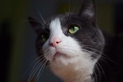 Lucius (Eva O'Brien) Tags: cat fur nikon feline kitty whiskers felines cateyes sunbeam 35mmf18 d3100 nikond3100 evacares evaobrien