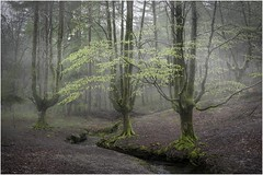Otzarreta004 (Ezcurdia) Tags: mist grove lush niebla gorbea arboleda frondosidad otzarreta hugsforest elbosquedelosabrazos