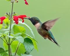 Hummingbird (snooker2009) Tags: bird nature spring hummingbird wildlife flight ruby migration hummer dailynaturetnc13