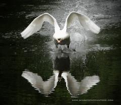 Reflecting (mond.raymond1904) Tags: park ireland light dublin reflection swan movement flight mute marlay