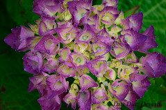 hortensia (Luis Diaz Devesa) Tags: pink flowers red espaa naturaleza flower verde green nature yellow spain europa rosa galicia galiza pontevedra vilagarciadearousa villagarciadearosa luisdiazdevesa