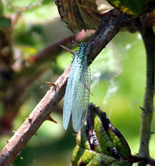 Chrysopa perla Lacewing