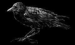 Crow on black (The Searcher) Tags: seattle original white black bird art illustration bar digital pen pencil ink painting sketch george pub dragon drawing unique fine pop derek gift murder crow crows relics chatwood poprelics