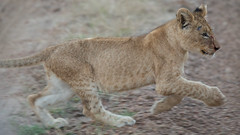 Pondoro / South Africa / 2014 (gundy) Tags: africa southafrica cub south lion greater kruger pondoro balule