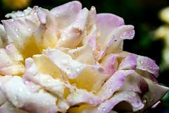Rose (stephanrudolph) Tags: uk england plant flower london nikon europa europe gb handheld 24 2470mm 2470mmf28 d700 2470mmf28g