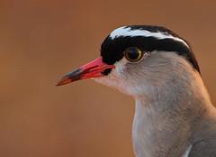 Crowned Lapwing (Rainbirder) Tags: kenya ngc npc tsavoeast crownedlapwing vanelluscoronatus crownedplover rainbirder