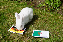 Rabbit Prediction Germany vs Algeria (mikeyp2000) Tags: world pet white rabbit bunny cup grass germany garden algeria oracle flag soccer fluffy flags fluff fortune psychic prediction teller seer predict