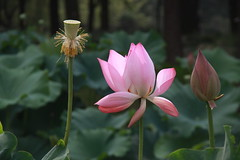 A Walk in our local Park (johey24) Tags: china pink flowers nature shanghai lotus parks pudong centurypark lotusflowers pregamewinner