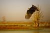 White-tailed eagle (Haliaeetus albicilla) (Aleoko) Tags: 15challengeswinner