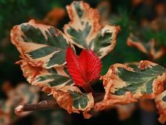 1 Fall Branch in the Afternoon (Mertonian) Tags: forsophia red green brown autumn fall mertonian robertcowlishaw branch heart canon powershot g7x mark ii canonpowershotg7xmarkii awe ineffable wonder lifeanddeath